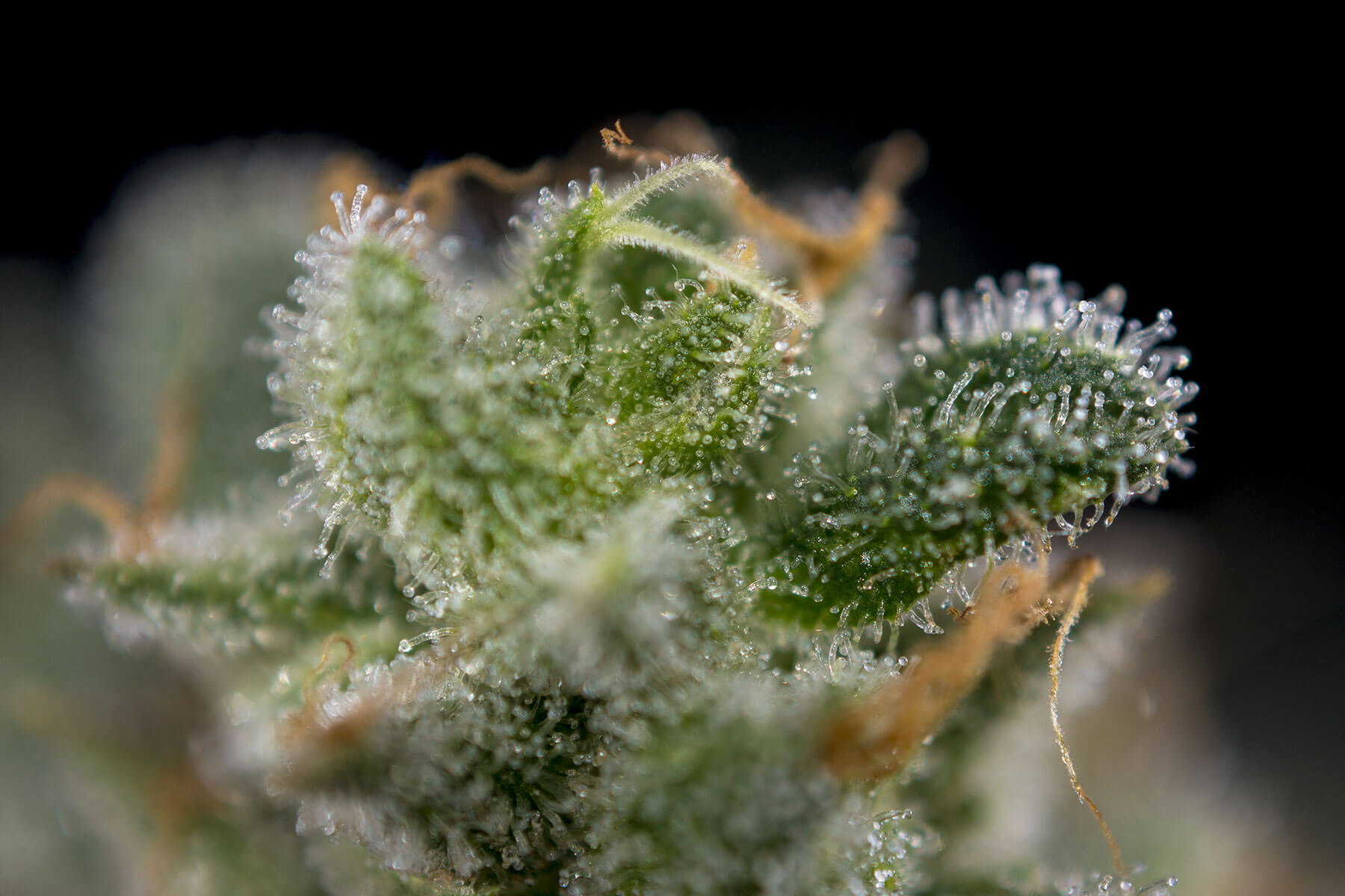 Terpenes and the CBD trichome caps of the cannabis flower