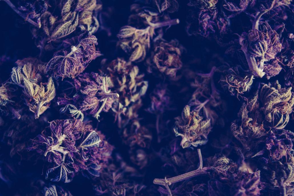 Purple and green kush cannabis