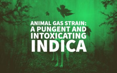 Animal Gas Strain: A Pungent And Intoxicating Indica